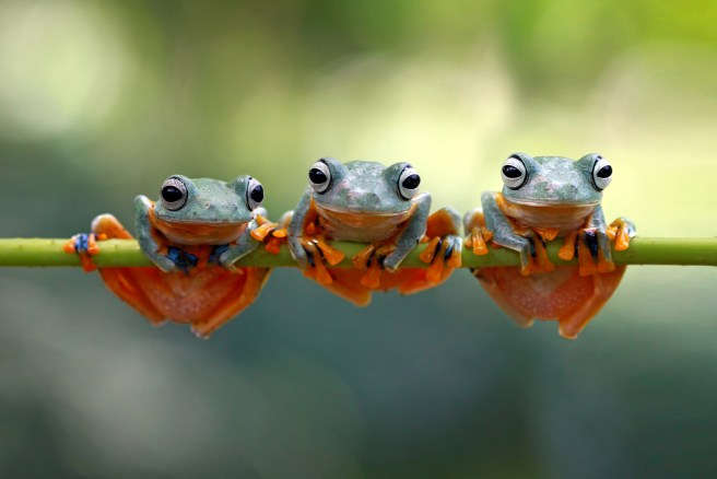 How dinosaur extinction boosted the evolution of frogs