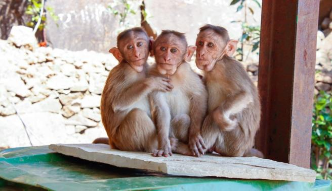 Social status has an effect on immune cells in monkeys