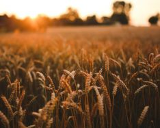 Scientists engineer crops to boost their draught tolerance