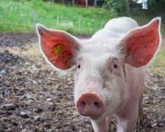 CRISPR piglets bring hope to human organ transplant shortage