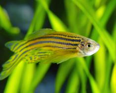 Mathematical model for zebrafish stripes
