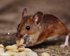 Researchers discover chemicals that regenerate damaged heart cells in mice