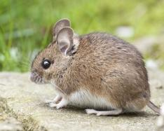 Two sets of neurons discovered that control thirst in mice